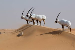 Orice d'Arabia
