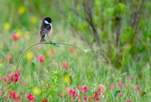 Saltimpalo in equilibrio su uno stelo Wildlife Photographer of the Year