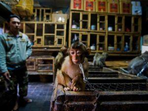 Giovane macaco in vendita negozio Wildlife Photographer of the Year