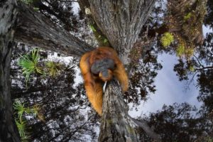 Orango su un albero Vincitore assoluto GRAND PRIZE OF WORLD NATURE PHOTOGRAPHER OF THE YEAR