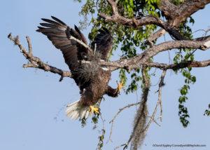 Comedy Wildlife Photography aquila reale che sbaglia l'atterraggio su un ramo