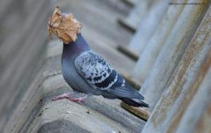 Comedy Wildlife Photography colombo con foglia portata dal vento