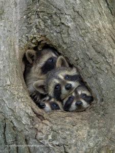 Comedy Wildlife Photography 4 procioni nella cavità di un albero
