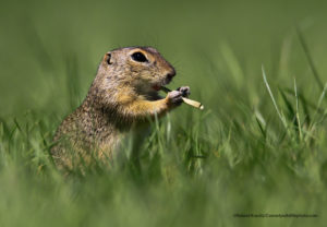 Comedy Wildlife Photography marmotta