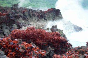 Granchi rossi su scogliera Christmas Island