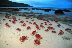 Migrazione granchi rossi