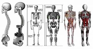 Giunture scheletro umano