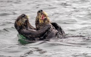 Andy Harris Sea Otter tickle fightComedy Wildlife Photo Awards 2019