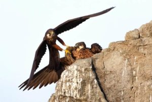 Falco Eleonora in Sardegna Wildlife Photographer of the Year