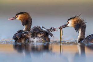 Una famiglia di palmipedi nutre i piccoli Wildlife Photographer of the Year