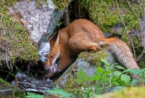 Volpe che mangia un'oca Wildlife Photographer of the Year