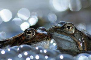 Rospi bruni 1° classi. Categoria Anfibi e Rettili World Nature Photography
