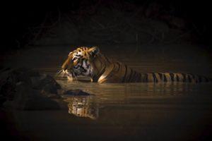Tigre del Bengala mentre attraversa un corso d'acqua vincitrice cat Ritratto animali WNPA