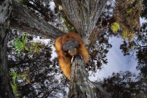 Orango su un albero Vincitore assoluto GRAND PRIZE OF WORLD NATURE PHOTOGRAPHER OF THE YEAR