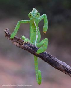 """Comedy Wildlife Photography rettile verde in posa da divinità """"arrabbiata"""""""