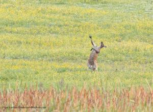Comedy Wildlife Photography canguro tenore