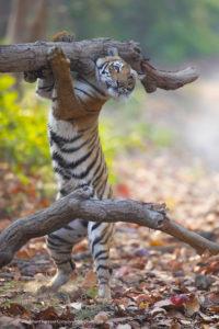 Comedy Wildlife Photography tigre che si sfrega contro un ramo
